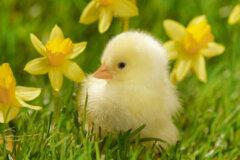 Spring chicken!